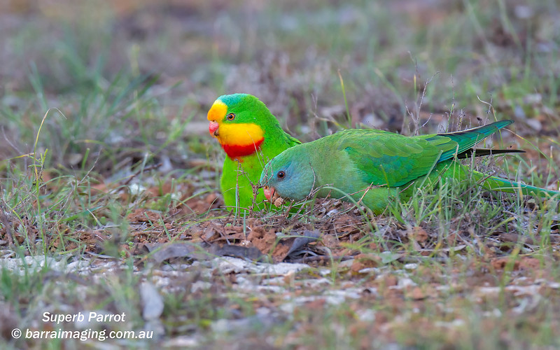 Superb Parrot male & female
