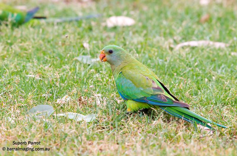 superb parrot polytelis swainsonii barraimaging
