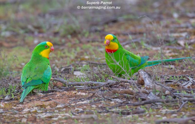 Superb Parrot males