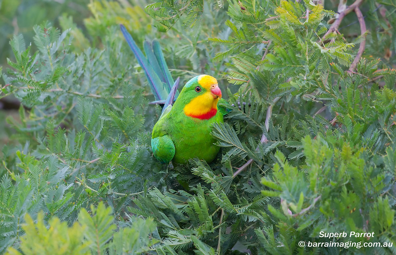 Superb Parrot male