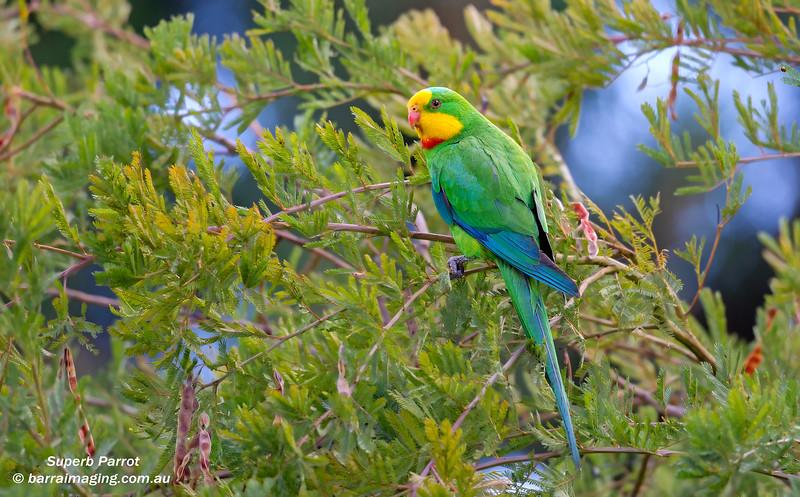 Superb Parrot male
