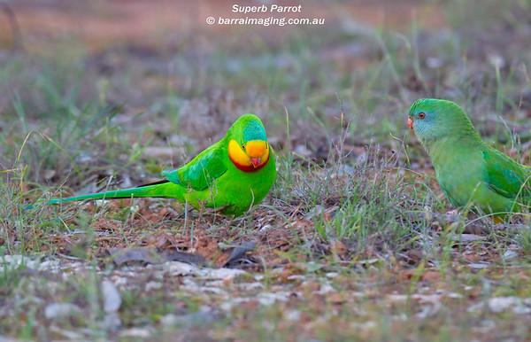 Superb Parrot male & female