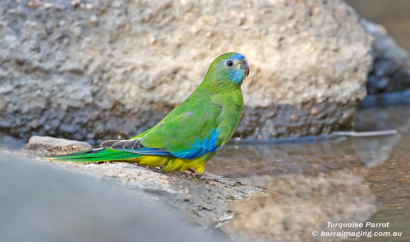 Turquoise Parrot female