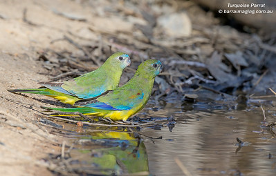 Turquoise Parrot immature male & female