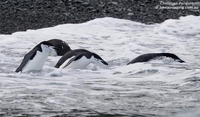 Chinstrap Penguin