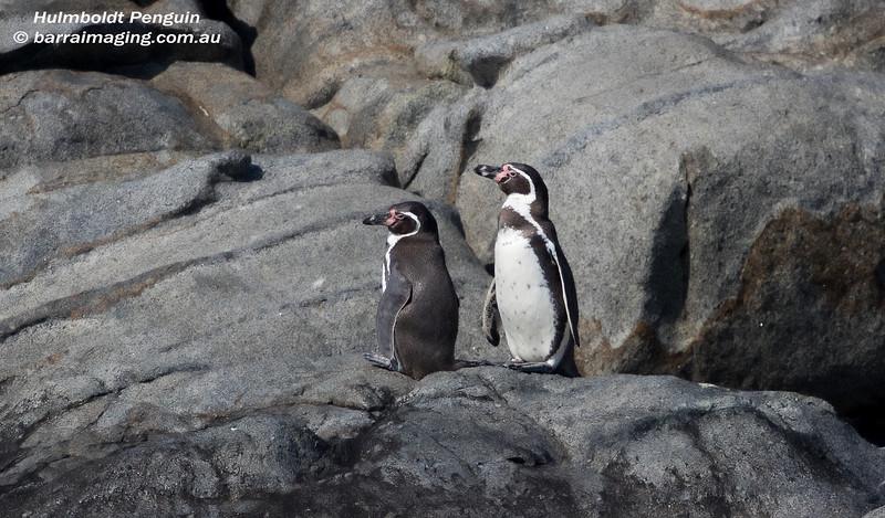 Hulmboldt Penguin