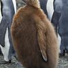 King Penguin juv