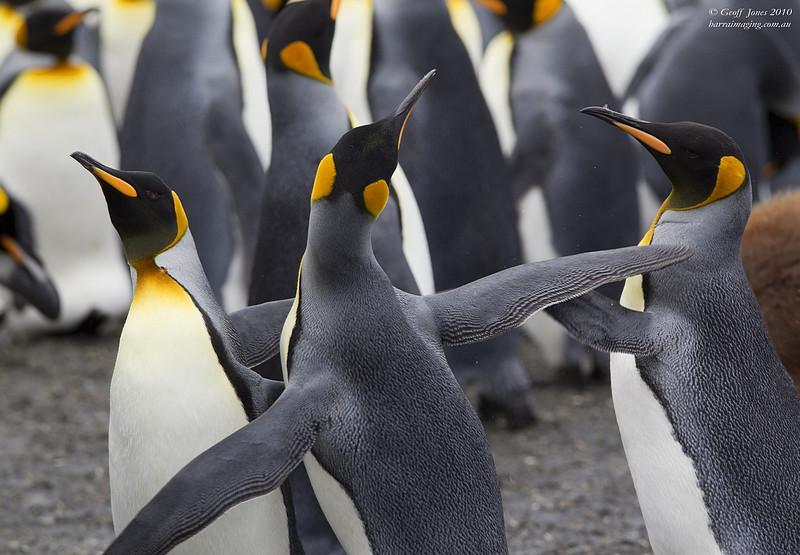 King Penguin flipper fight!