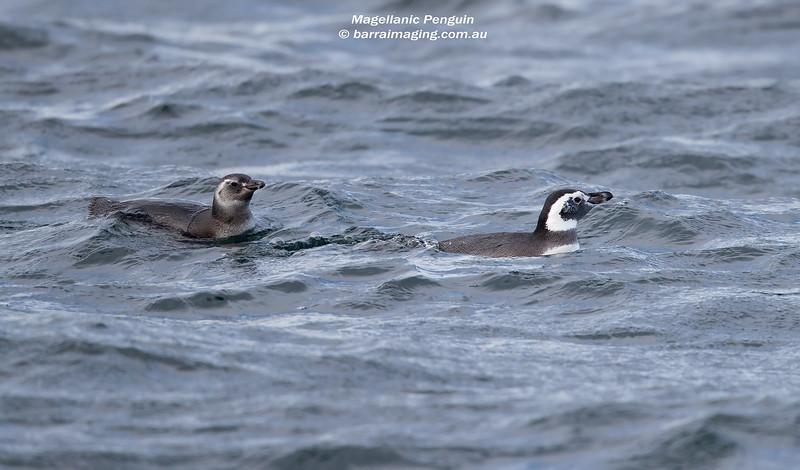 Magellanic Penguin Imm & adult