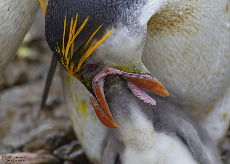 Royal Penguin adult feeding chick