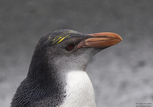 Royal Penguin imm