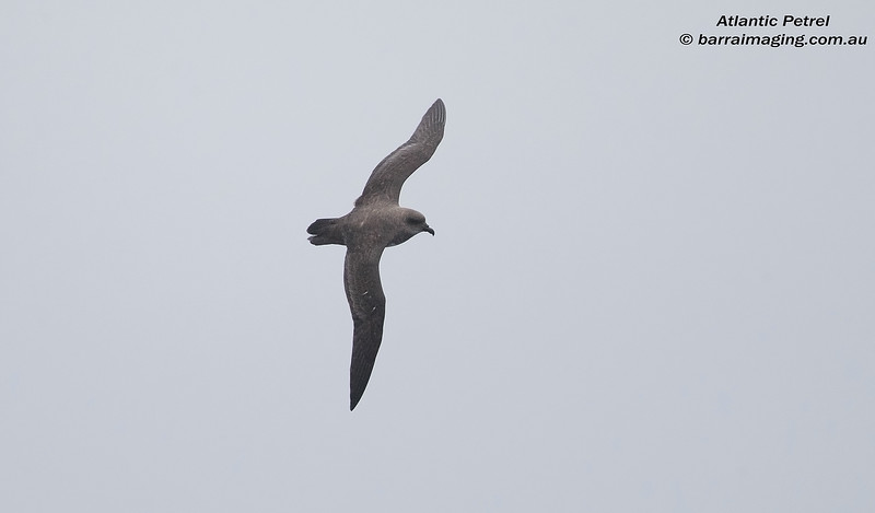 Atlantic Petrel