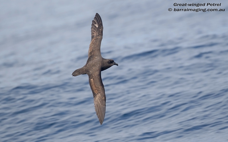 Great-winged Petrel AU2