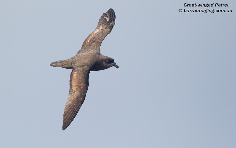Great-winged Petrel AU1
