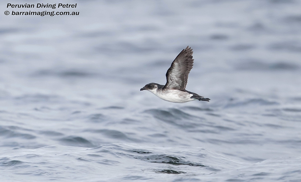 Peruvian Diving Petrel