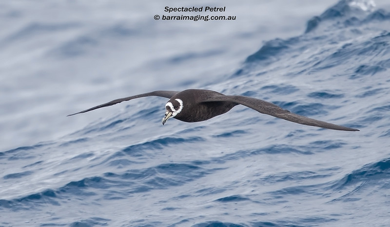 Spectacled Petrel