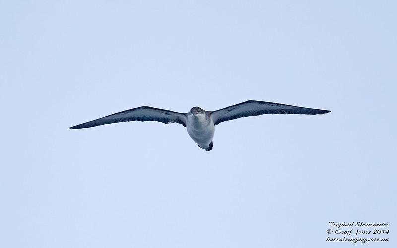 Tropical Shearwater
