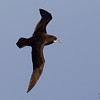White-chinned Petrel ( Procellaria aequinoctialis ) Southern Indian Ocean Nov 2012.jpg<br /> SIO00635d