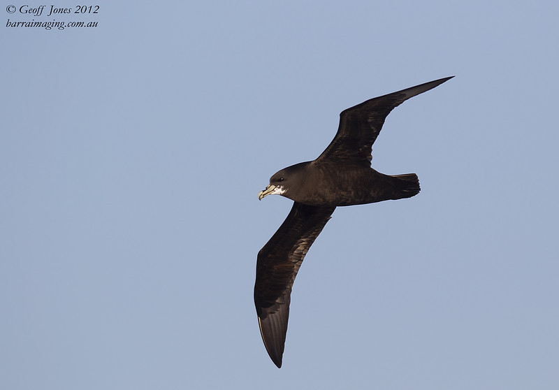White-chinned Petrel ( Procellaria aequinoctialis ) Southern Indian Ocean Nov 2012.jpg<br /> SIO00635a