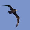 White-chinned Petrel ( Procellaria aequinoctialis ) Southern Indian Ocean Nov 2012.jpg<br /> SIO00635b