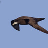 White-chinned Petrel ( Procellaria aequinoctialis ) Southern Indian Ocean Nov 2012.jpg<br /> SIO00635c