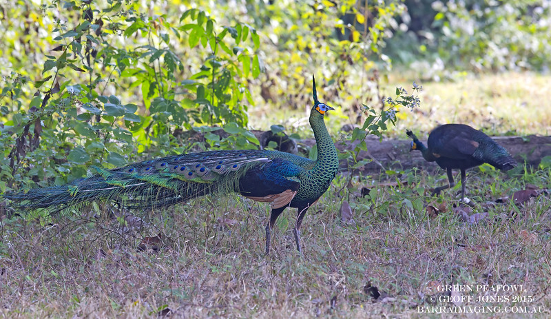 Green Peafowl male
