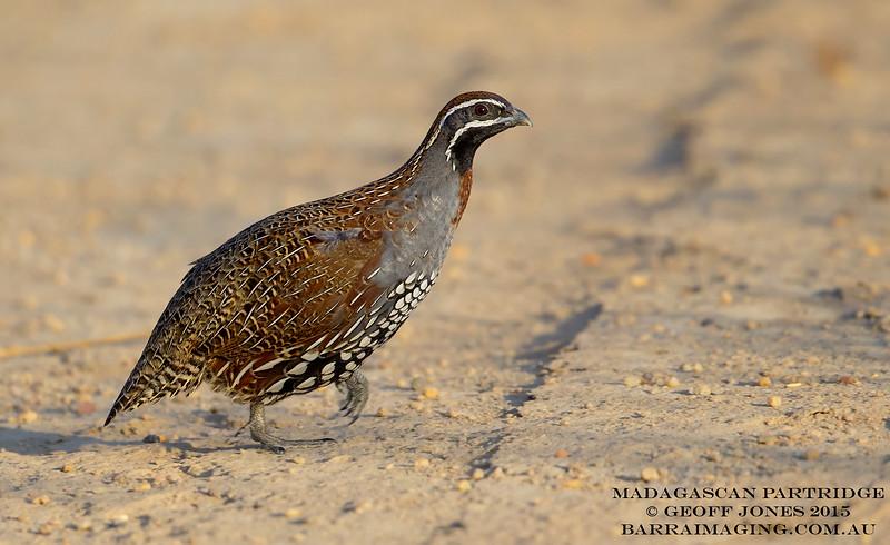 Madagascan Partridge