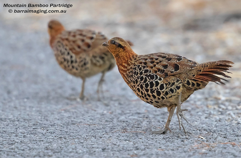 Mountain Bamboo Partridge