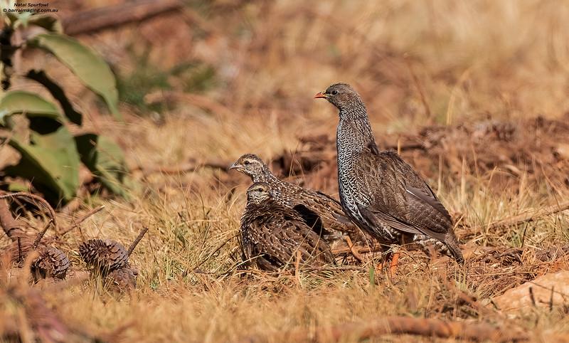 Natal Spurfowl Adult and juveniles