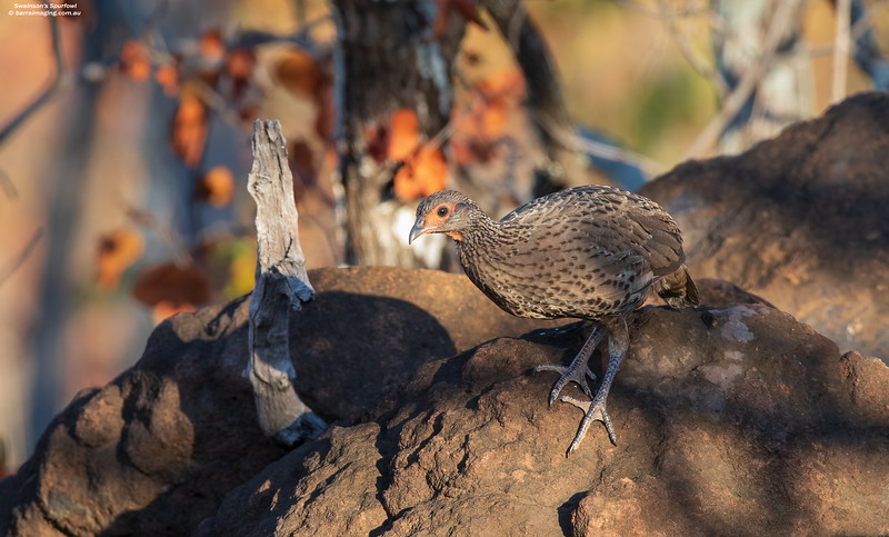 Swainson's Spurfowl juvenile
