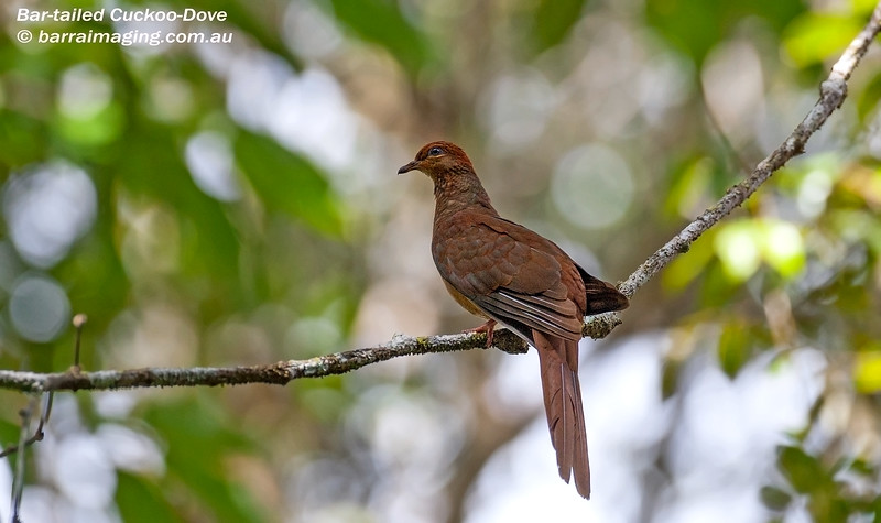 Bar-tailed Cuckoo-Dove