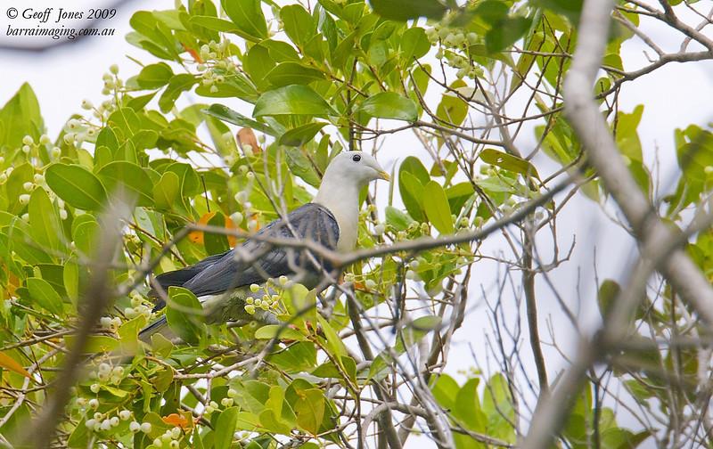 Black-banded Fruit Dove
