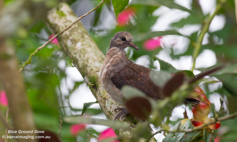 Blue Ground Dove juvenile