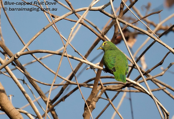 Blue-capped Fruit Dove