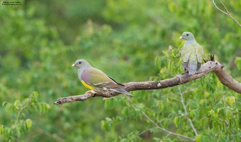 Bruce's Green Pigeon adult and immature