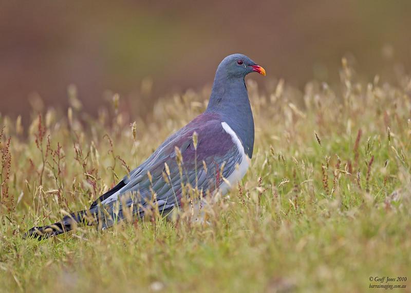 Chatham Pigeon