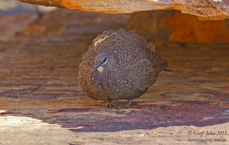 Chestnut-quilled Rock Pigeon