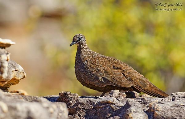 Chestnutquilled Rock Pigeon