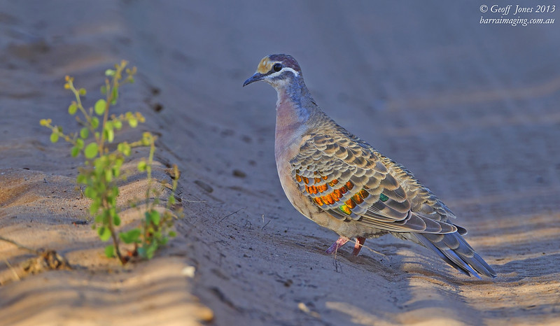 Common Bronzewing male