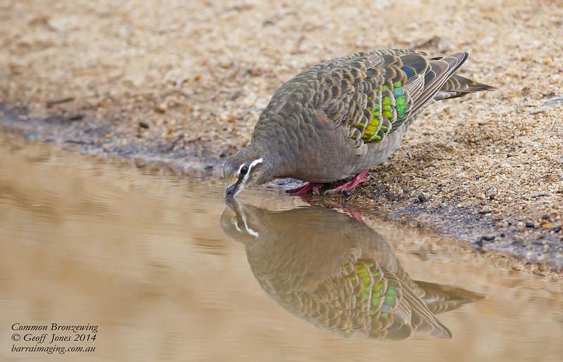 Common Bronzewing female