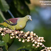 Grey-cheeked Green Pigeon