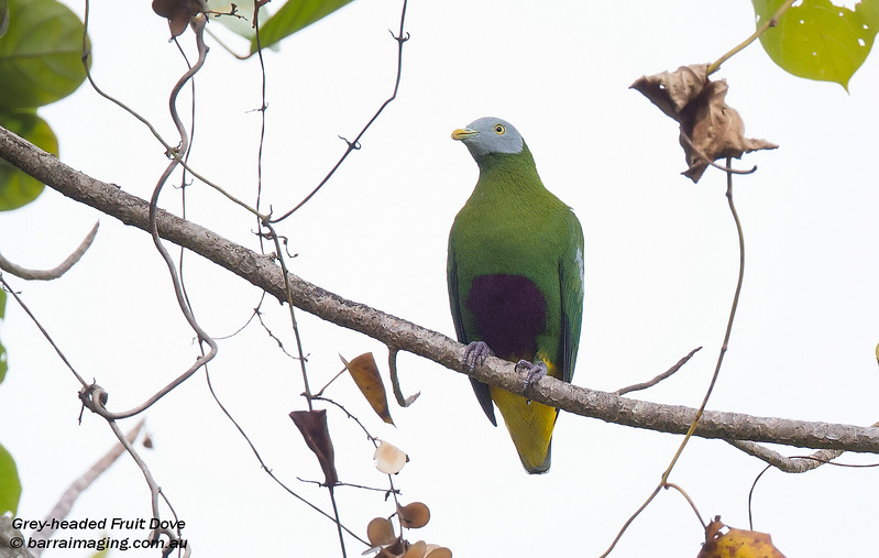 Grey-headed Fruit Dove