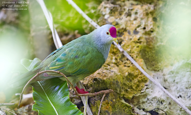 Henderson Fruit Dove