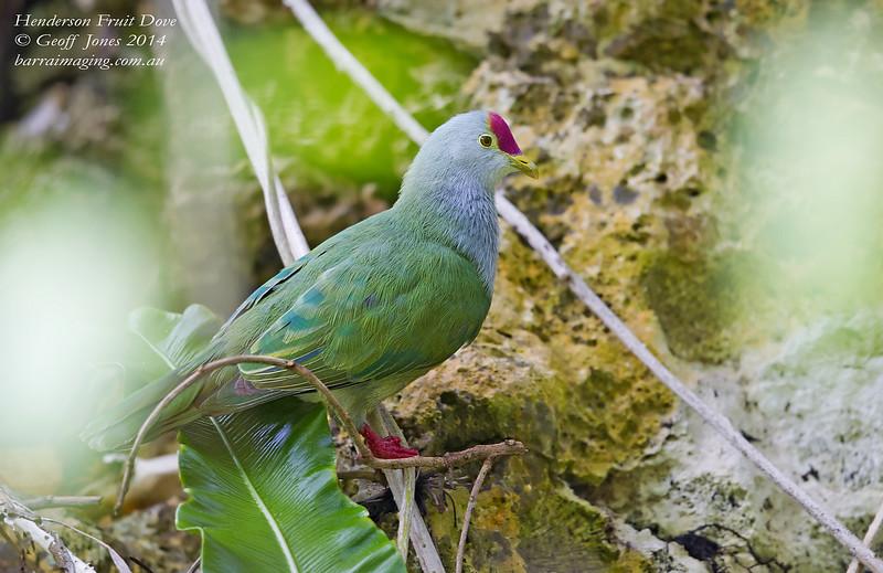 Henderson Fruit Dove