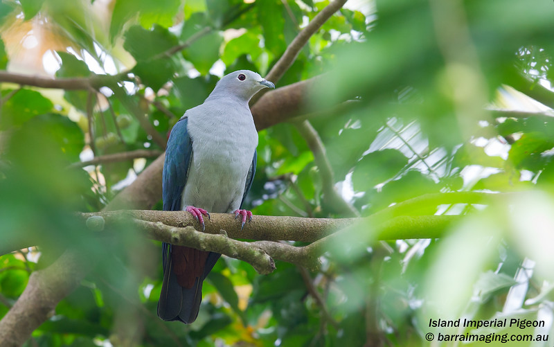 Island Imperial Pigeon
