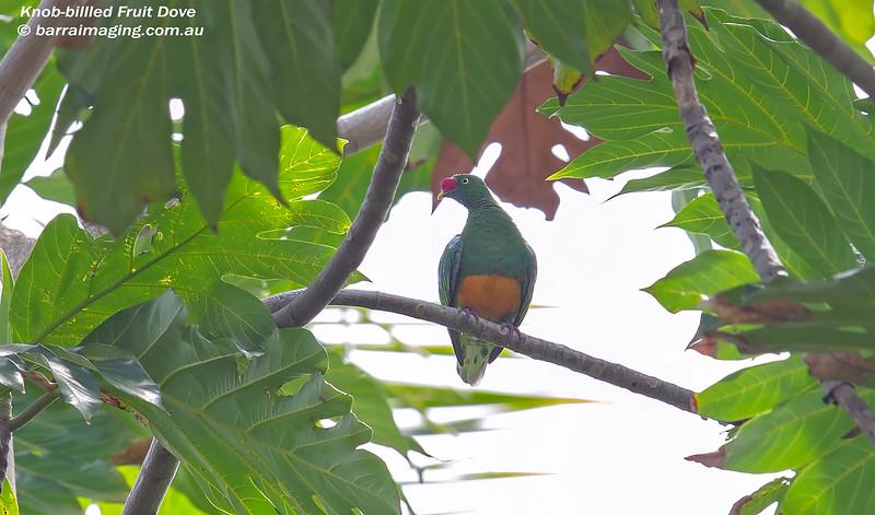 Knob-billled Fruit Dove