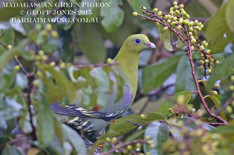 Madagascan Green Pigeon