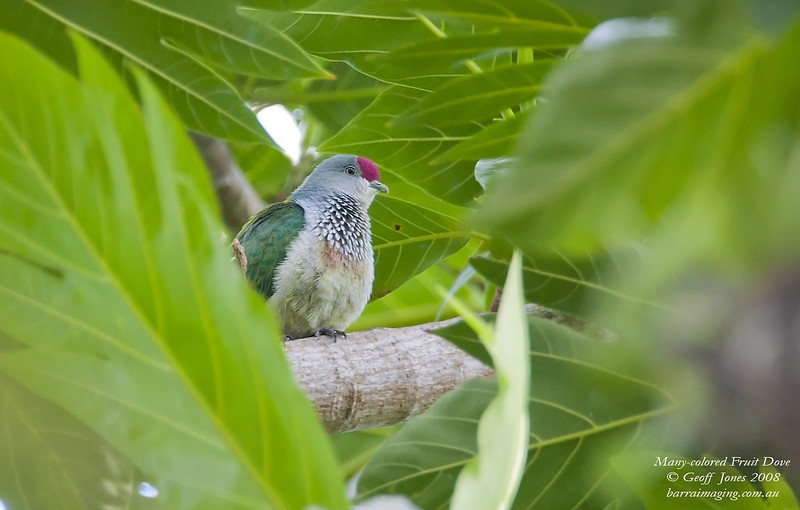 Many-colored Fruit Dove female
