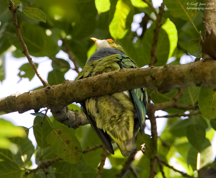 Orange-fronted Fruit Dove