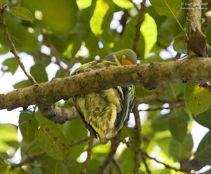 Orange-fronted Fruit Dove
